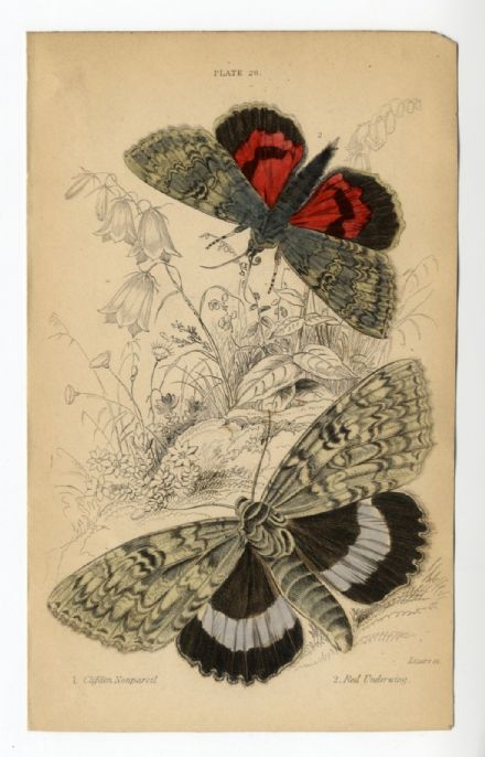 1836 MOTHS JARDINES Antique Print CLIFDEN NONPAREIL Red Underwing ENGRAVED BY WILLIAM LIZARS Hand Col.